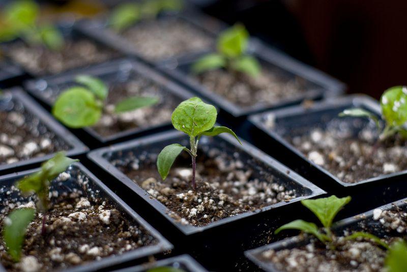 полив рассады земляники в домашних условиях