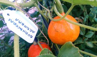 Тыква Оранжевая медоваяF1