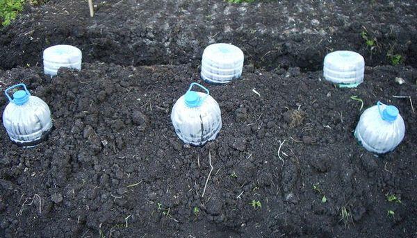 Рассада кабачков под бутылками