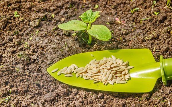 Семена и кустик кабачка