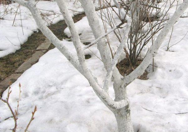 Побелка деревьев зимой