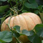 Выращивание тыквы @JANET DAVIES, Flickr